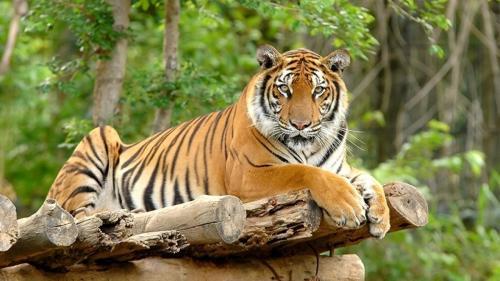 Harimau Jawa