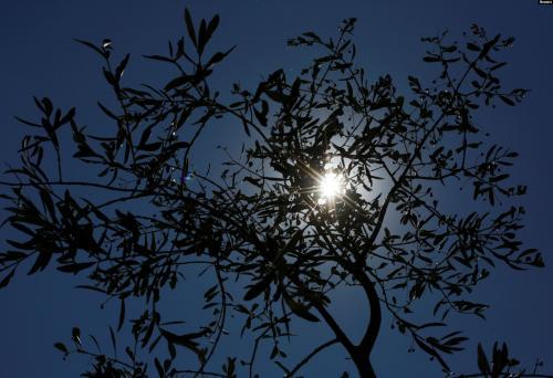 Pohon Zaitun