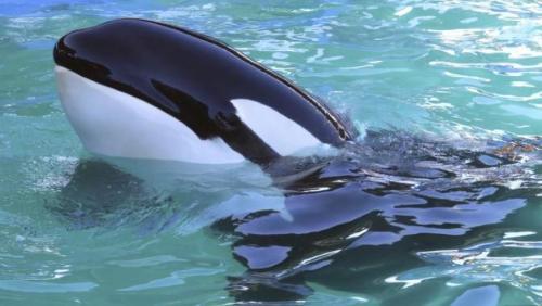 Orca, Paus Pembunuh