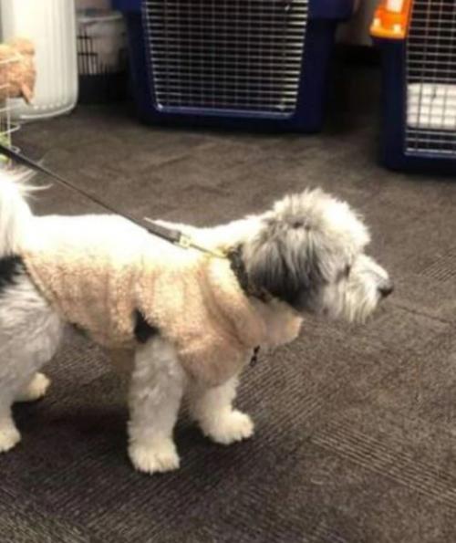 Anjing Scoopy 3 Pekan Hilang di Bandara
