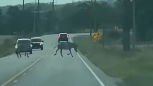 Zebra berkeliaran di jalan raya